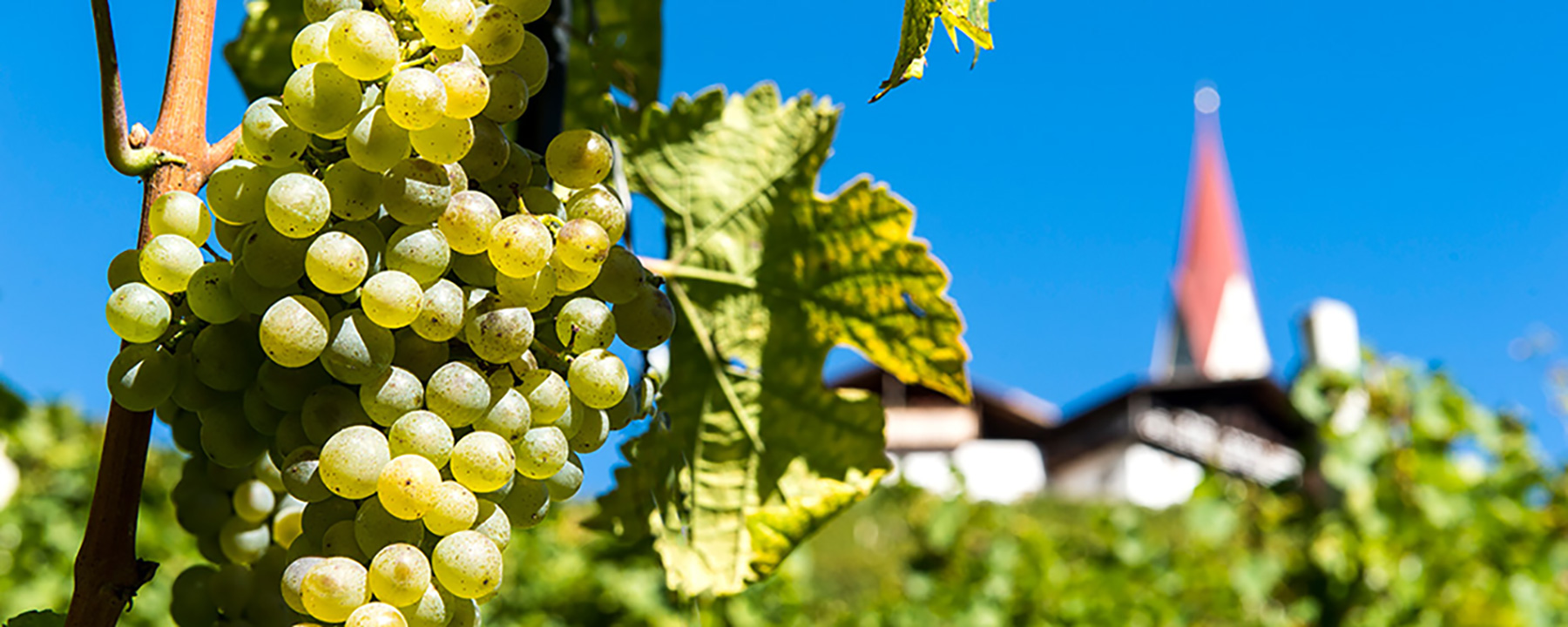 Weintrauben in Südtirol - Villanders